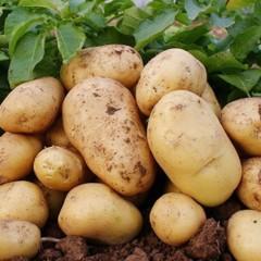 【新鲜蔬菜】山东黄心土豆5斤装 (单果100-200g)