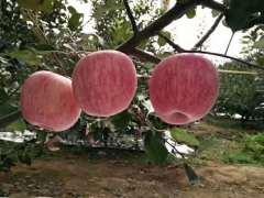 栖霞红富士苹果junnong3特惠果75cm精装净重-5kg包邮9.5折优惠