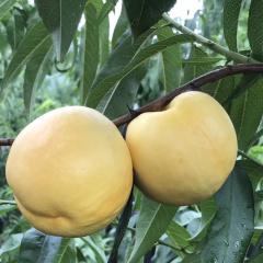 黄油桃精品装 3斤  一级果 (9-10个)